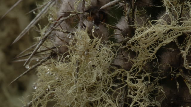 Dew drops from thorns as lichens grow on a Saguaro cactus. Available in HD.