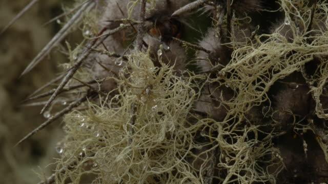 vídeos y material grabado en eventos de stock de dew drops from thorns as lichens grow on a saguaro cactus. available in hd. - cactus saguaro