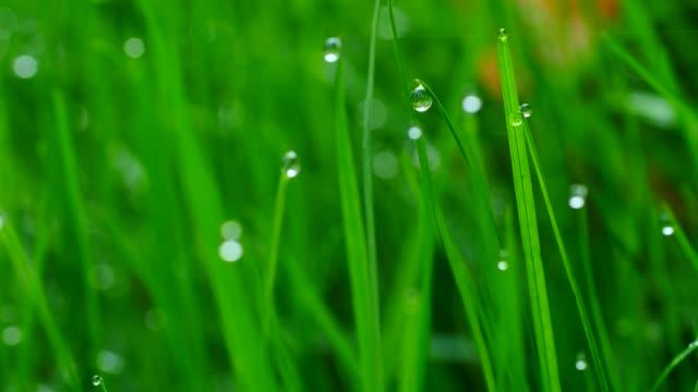 dew drops on culm, freudenburg, rhineland-palatinate, germany, europe - dew stock videos and b-roll footage