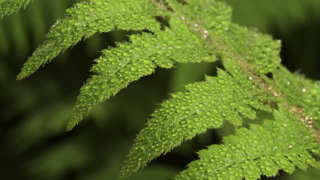 tl dew forms on unfurling fern frond, uk - frische stock-videos und b-roll-filmmaterial