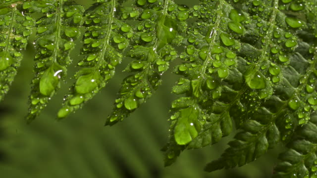 tl dew forms on unfurling fern frond, uk - condensation stock videos & royalty-free footage