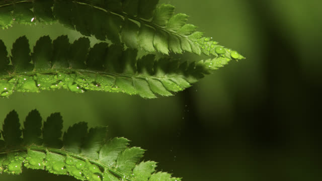 tl dew forms on unfurling fern frond, uk - シダ点の映像素材/bロール