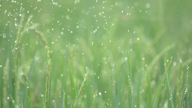 dew green rice field with dust - morning dew stock videos & royalty-free footage