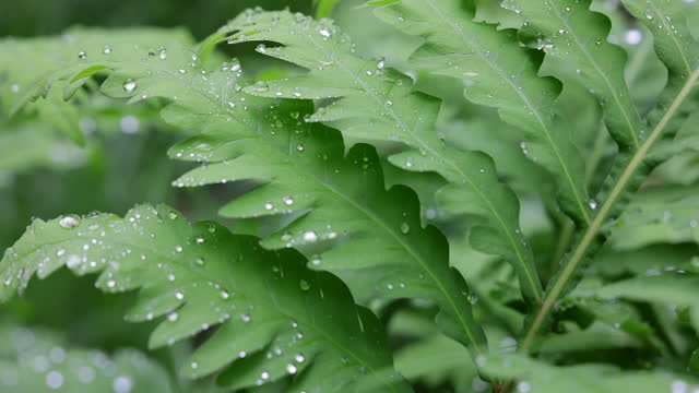 dew on green fern after the rain in quebec, canada - fern stock videos & royalty-free footage