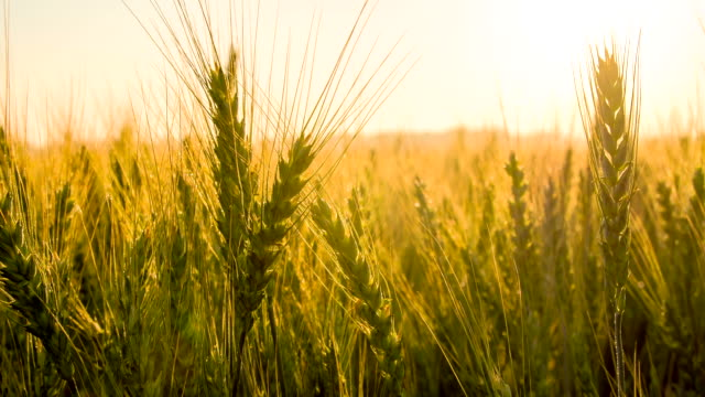 ms ds dew on wheat ears - morning dew stock videos & royalty-free footage