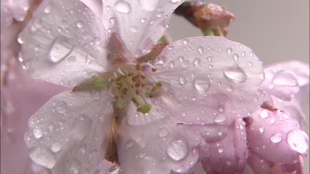 vidéos et rushes de dewdrops glisten on spring cherry blossoms. - rosée