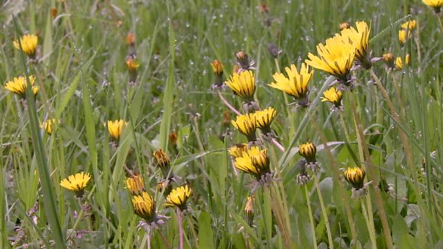 Dewy Dandelion Flowers