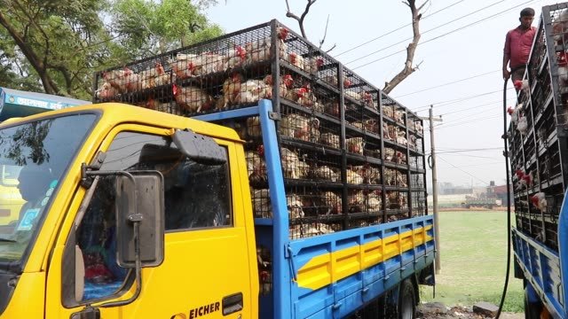 dhaka 2 feb 2018 broiler chickens are being transported to the capital in dhaka from rangpur for selling due to the humidity and the way these... - poultry stock videos & royalty-free footage