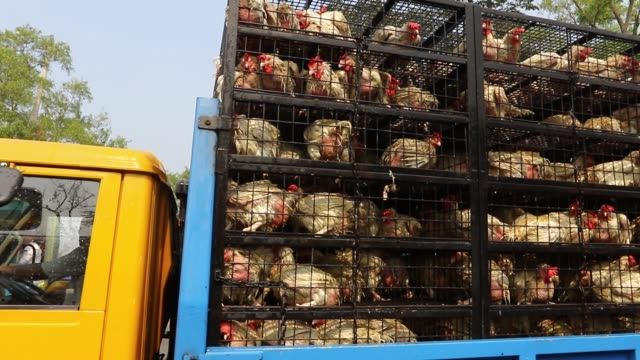dhaka 2 feb 2018 broiler chickens are being transported to the capital in dhaka from rangpur for selling the video takes on dhakaaricha highway in... - poultry stock videos & royalty-free footage
