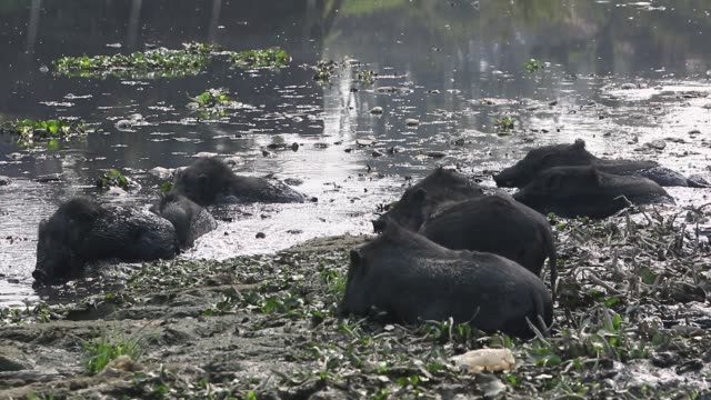 dhaka2018 pigs drinking water from a waterbody in savar on the outskirts of the capital recently the pigs eat roots and taro stolon of arum water... - savar stock videos and b-roll footage