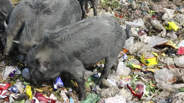 dhaka2018 pigs vying for their share from garbage in savar on the outskirts of the capital recently the pigs eat roots and taro stolon of arum water... - orticoltura video stock e b–roll
