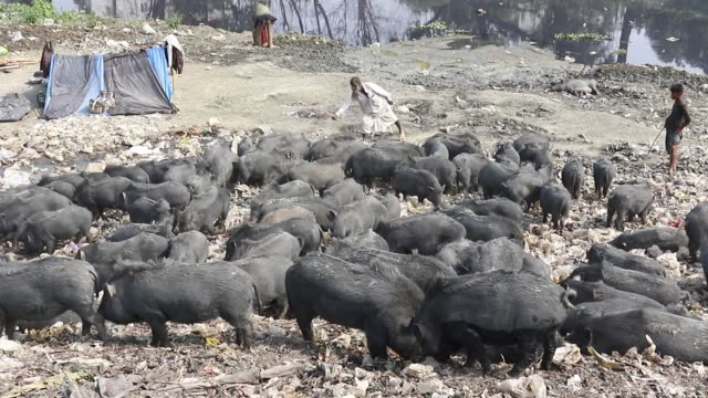 dhaka2018 pigs vying for their share from garbage in savar on the outskirts of the capital recently the pigs eat roots and taro stolon of arum water... - raw footage stock videos & royalty-free footage