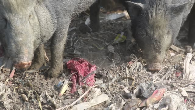 dhaka2018 pigs vying for their share from garbage in savar on the outskirts of the capital recently the pigs eat roots and taro stolon of arum water... - savar stock videos and b-roll footage