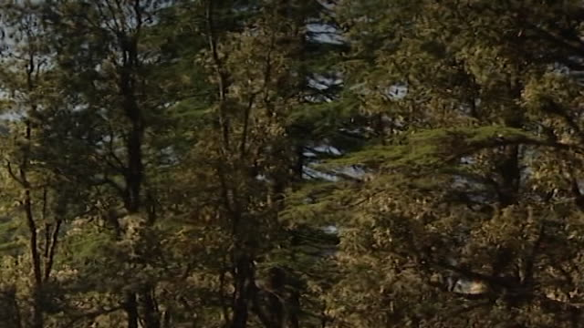 dharamsala, india. pan-left across the tangled branches of a cedar forest to a clearing with a rhododendron and a tall brick-roofed structure abaft. - pinaceae stock videos & royalty-free footage