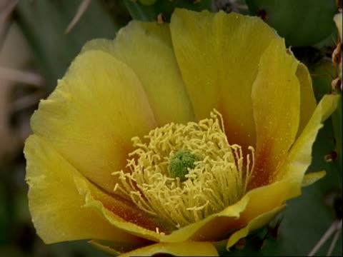 diadasia rinconis bee collecting pollen from prickly pear cactus flower, flies off, usa - staubblatt stock-videos und b-roll-filmmaterial