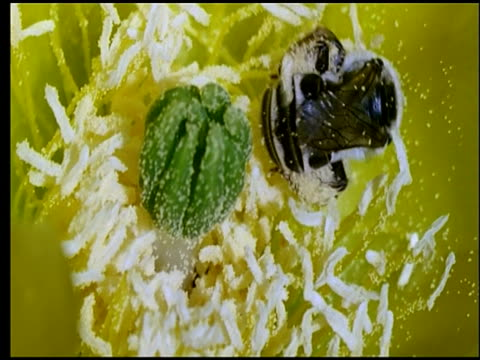 diadasia rinconis bee in yellow prickly pear cactus flower collecting pollen, sonoran desert, usa - prickly pear cactus stock videos & royalty-free footage