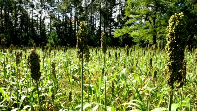 diagonal pan of sorghum planted in food plot - sorghum stock videos & royalty-free footage