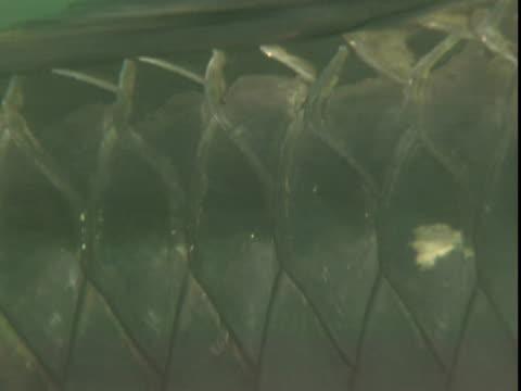 diamond pattern of atlantic tarpon scales. - scaly stock videos & royalty-free footage
