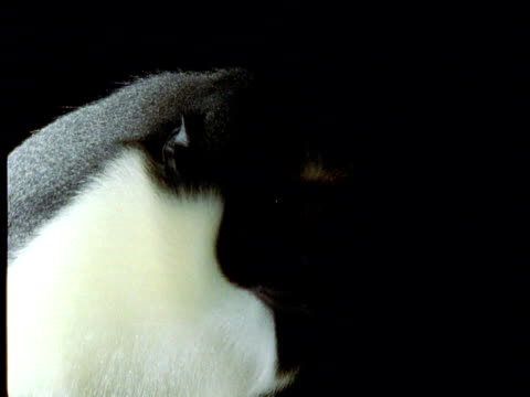 diana monkey looks at camera and calls against black background - chroma key stock videos & royalty-free footage