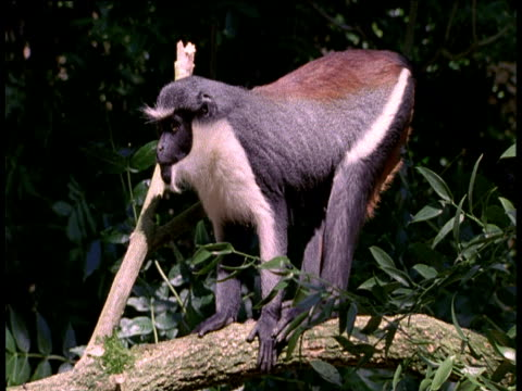 Diana Monkey on branch, sits down showing red colouration on back, Africa.