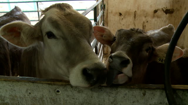 diary cows in stable - diary stock videos and b-roll footage