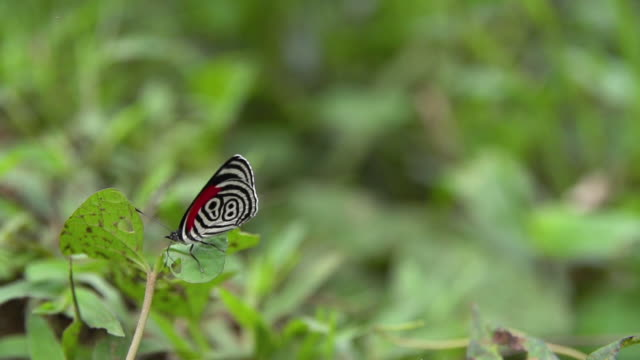diathria butterflies in the amazon rainforest - insect stock videos & royalty-free footage