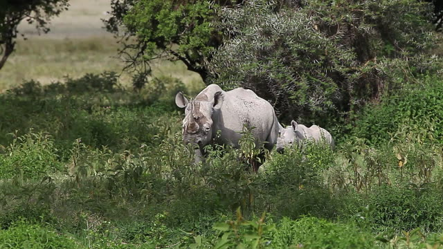 ms ts diceros bicornis and calf walking through nakuru park / national park, africa, kenya - erbivoro video stock e b–roll