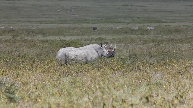 ms ts diceros bicornis walking through nakuru park / national park, africa, kenya - herbivorous stock videos and b-roll footage