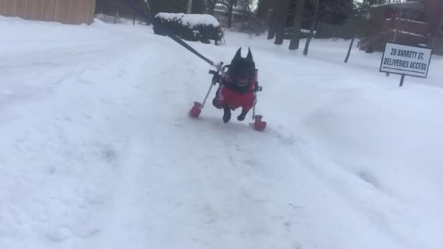 diesel the paralyzed dog can still rip around in the winter on his skis! look at him go! - paralysis stock videos & royalty-free footage