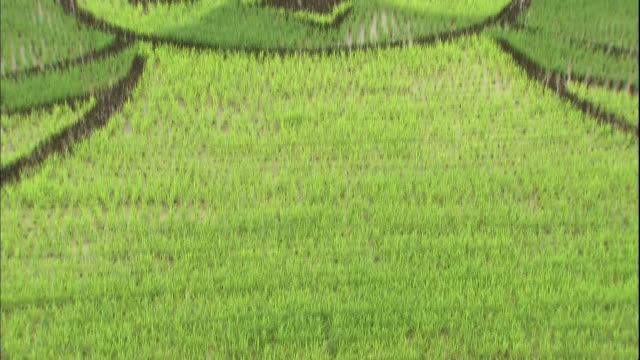 different colored rice plants create a pattern in a wide rice paddy. - asahikawa stock videos & royalty-free footage