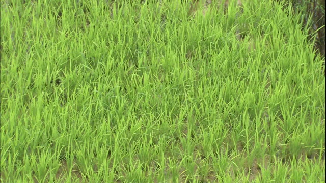different colored rice plants form patterns in a rice paddy. - asahikawa stock videos & royalty-free footage