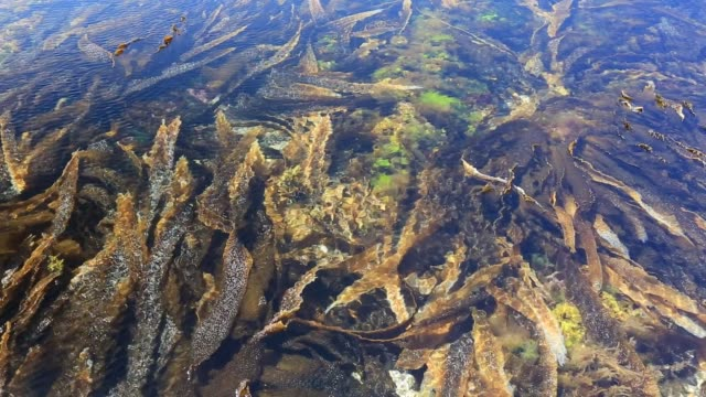 different species of seaweed in rock pools at beach at birsay, orkney, scotland, uk. - seaweed stock videos & royalty-free footage