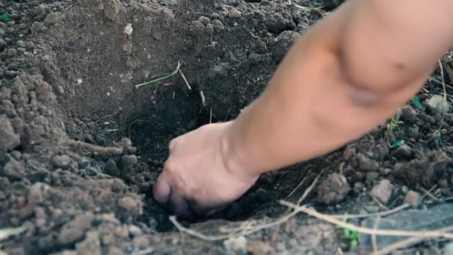 Creuser dans le sol pour planter le gingembre d'arbres.