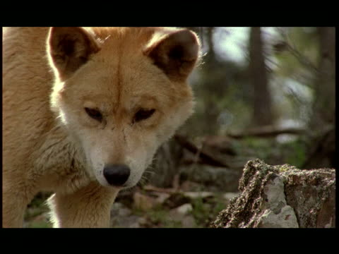 stockvideo's en b-roll-footage met a dingo and her pups scavenge for food. - foerageren