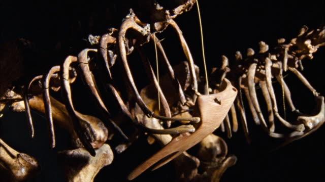 dinosaur skeleton (close up) - museum stock-videos und b-roll-filmmaterial
