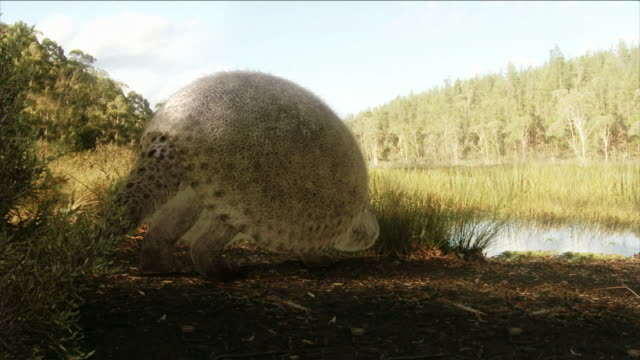 a dinosaur with a shell eats grass on the banks of a river. - animal shell stock videos & royalty-free footage