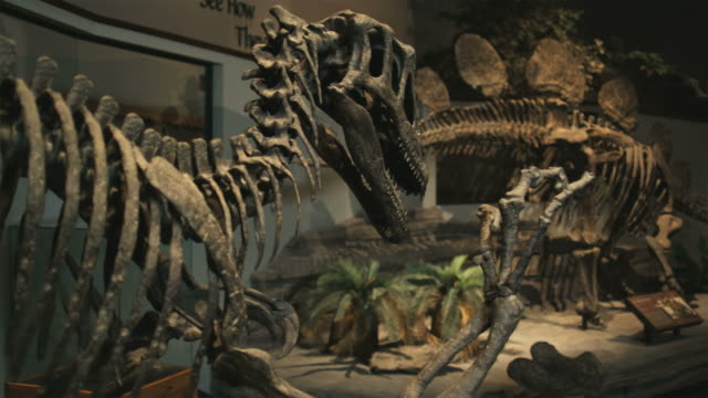 ms pan dinosaur's skeletons in natural history museum, lehi, utah, usa - museum stock videos & royalty-free footage