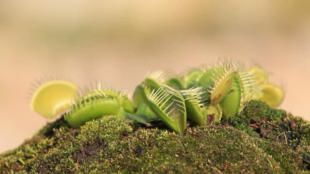 dionaea muscipula - carnivorous plant stock videos and b-roll footage