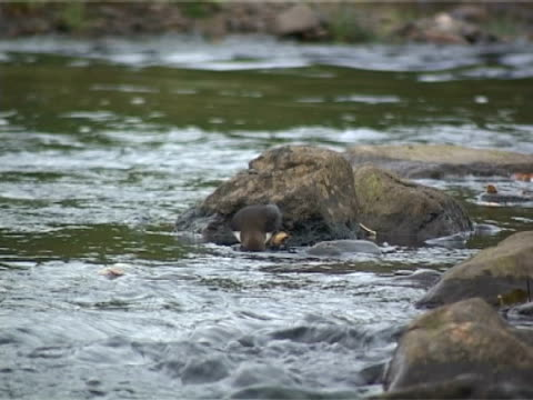 dipper feeding and resting in fast flowing stream - hebrides stock videos & royalty-free footage