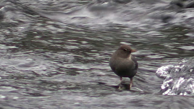 Dipper searching for food underwater, Autumn, Yellowstone National Park