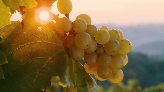 hd dolly: direct sunlight over white grapes - bukett bildbanksvideor och videomaterial från bakom kulisserna