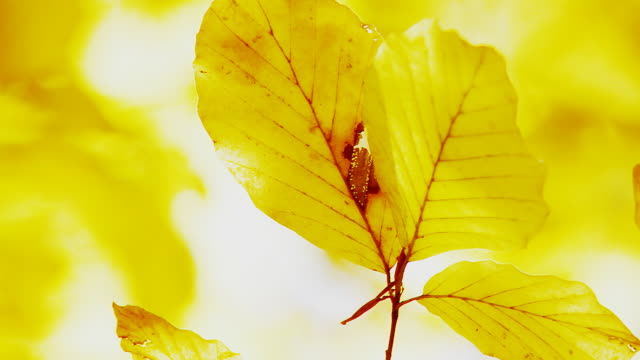 hd: direct sunlight through beech leaves - drenched stock videos & royalty-free footage