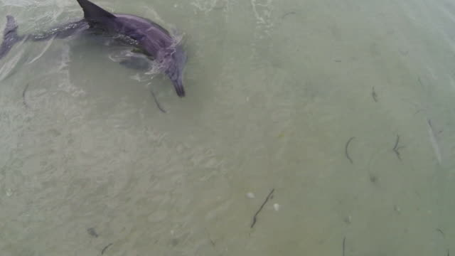 ha ws directly above bottlenosed dolphin hunting fish in shallow water  - bottle nosed dolphin stock videos & royalty-free footage