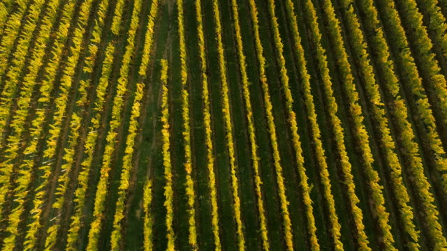 stockvideo's en b-roll-footage met aerial directly above rows of grapevines - monocultuur
