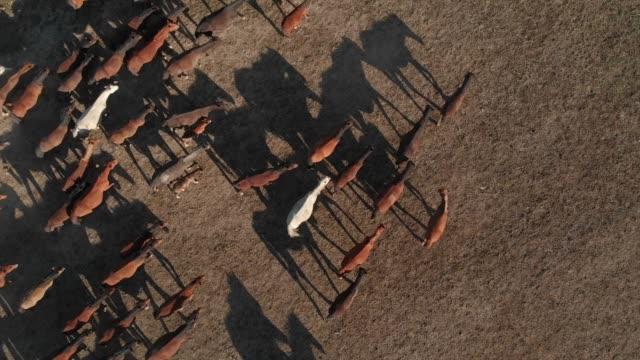 vídeos de stock e filmes b-roll de directly above view of wild horses of anatolia - grupo de animais
