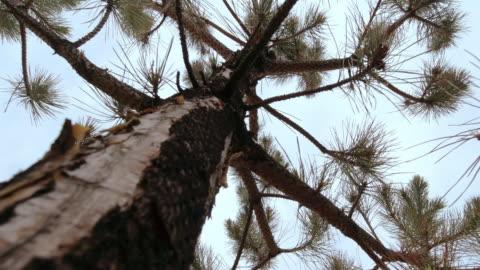 vídeos y material grabado en eventos de stock de directamente debajo de la toma de un tronco de pino con sus ramas balanceándose en el viento contra un cielo despejado - pino conífera