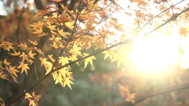 direkt mit blick orange ahorn blätter mit sonnenlicht - herbst stock-videos und b-roll-filmmaterial