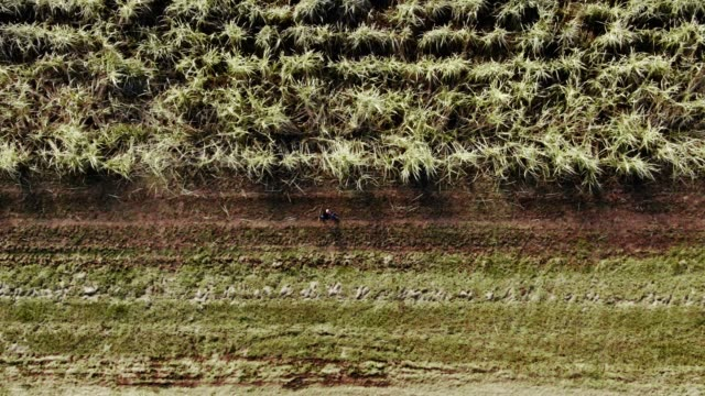 directly overhead aerial drone shot of a farmer walking along the edge of a sugar cane field in southern louisiana on a sunny day - stem topic stock videos & royalty-free footage