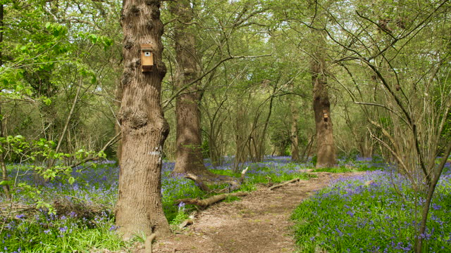 Dirt path in bluebell woodland