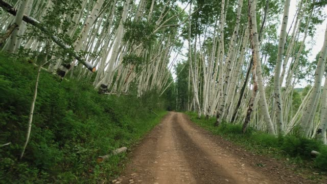Dirt road amidst aspen trees in forest